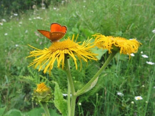 scarita belioara natural park reservation beautiful flowers butterfly